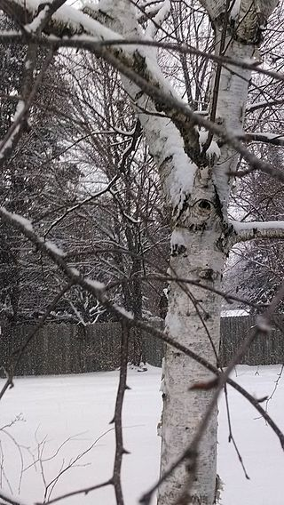 320px-Snowy_birch_in_the_suburbs